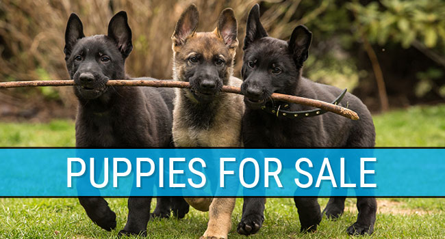 CQB K-9 Puppies For Sale